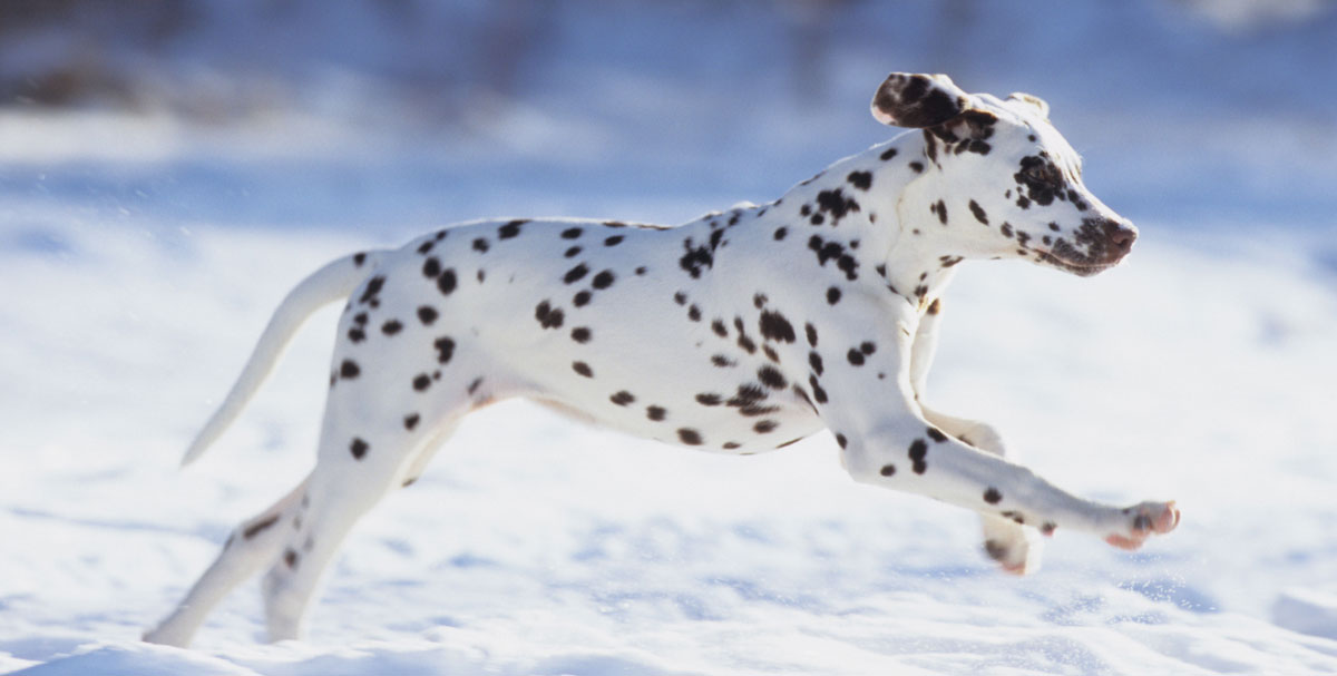 Uploaded Image: /uploads/blog-photos/Dalmation-Running-Alamy-A6JDPW-1200w.jpg